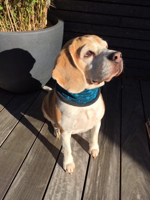 Hunde Loop türkis mit Sternen